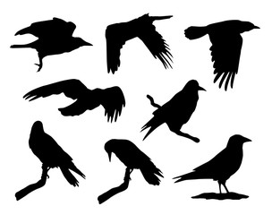 Vector collection of black silhouettes of flying, sitting and standing crow isolated on white background