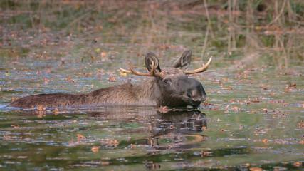 Moose Autumn Netherlands
