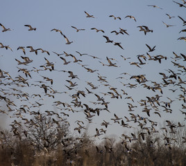 Flock of snow geese flying together in December, migrating water fowl