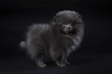 blue Pomeranian puppy on black background