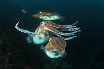 Cuttlefish pair mating