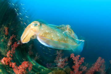 Cuttlefish pair mating