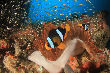 Clark's Anemonefish (Clownfish) fish and fluorescent red sea anemone