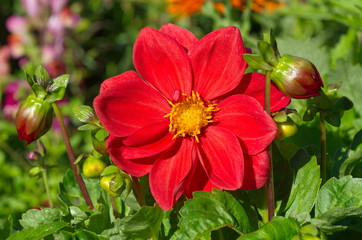 Keuken foto achterwand Dahlia Red Dahlia flower in the garden
