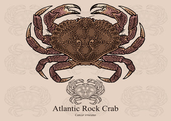 Atlantic Rock Crab. Vector illustration for artwork in small sizes. Suitable for graphic and packaging design, educational examples, web, etc.