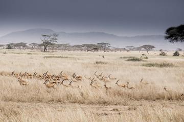 High angle view of Gazelles running on field at Serengeti National Park
