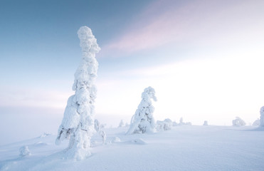 frozen trees in the nature of Finnish Lapland