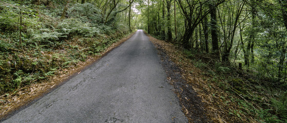 Narrow mountain road surrounded by oaks and with multitude of fallen leaves Galicia