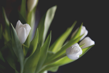 Close-up of white tulips blooming against gray background