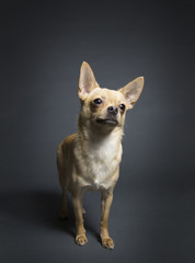 Chihuahua standing against gray background