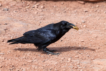 A black crow eats the food it has found