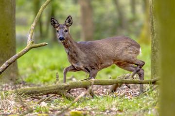 Anxious Roe Deer