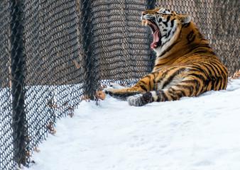 Tigar yawning at the zoo