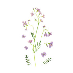Wild flower drawing watercolor on white. Cardamine pratensis
