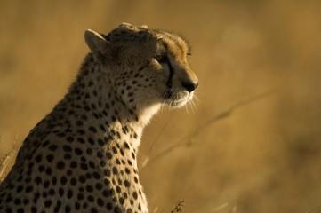 Africa, East Africa, cheetah in grassland