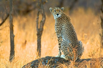 Africa, East Africa, cheetah sitting in grassland