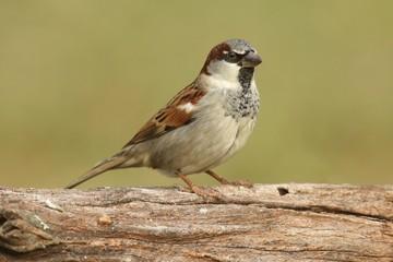 Fotoväggar - Male House Sparrow