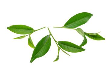green tae leaf