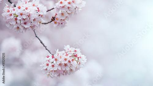 Wall mural Cherry blossom in spring. spring season background, Sakura season in korea. Soft focus