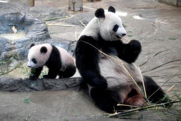 Female giant panda cub Xiang Xiang walks beside her mother Shin Shin at Ueno Zoo in Tokyo