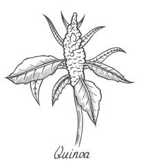 Quinoa seed branch