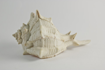 Hard Shelled Sea Shell Front View