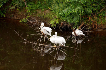 Three white pelicans sit on a dry tree, reflected in a pond, dar