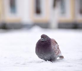 Dove in the winter city