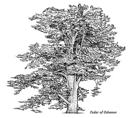 Cedar of Lebanon tree illustration, drawing, engraving, ink, line art, vector