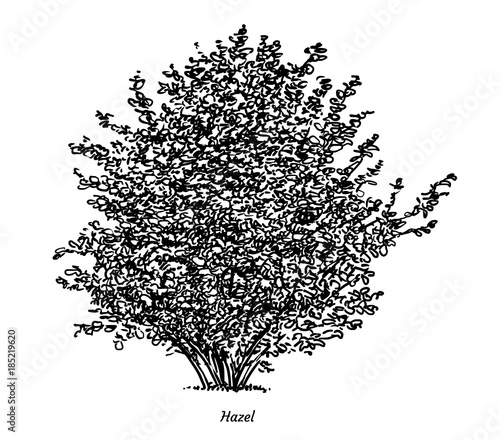 quothazel bush illustration drawing engraving ink line