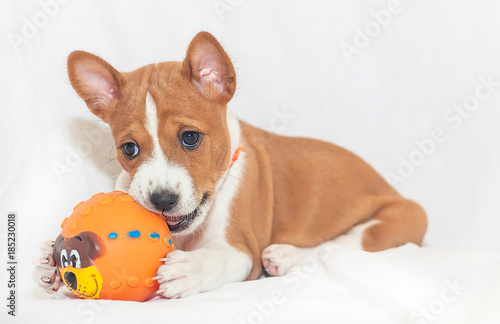 Beautiful Cute Puppy Dogs Not Barking Dog Breed Basenji Stockfotos