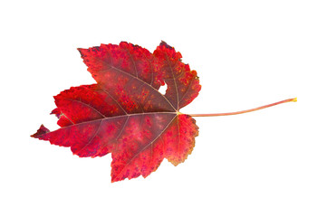 Red leaf maple autumn aging plant isolated on white