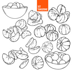 Sketch of mandarin in lines, hand drawn tangerine illustrations, orange Citrus, Hand drawn sketch set mandarins in vector, isolated on white background