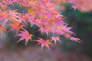 Maple leaves change color in Japan autumn.