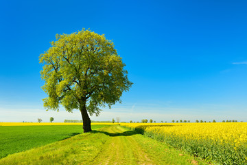 Old Linden Trees along Farm Track through Fields of Rapeseed and Wheat, Spring Landscape under Blue Sky