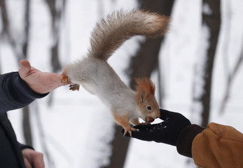 A squirrel is seen on pedestrians' hands in a park in Moscow