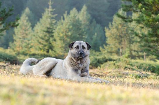 Anatolian shepherd dog, Turkey