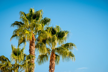 Tropical palm trees, blue sky background.