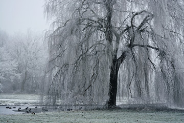 Landscape in the winter with weeping willow tree with snow and frost