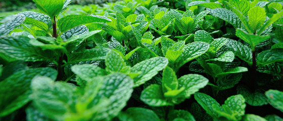 green mint plants growing at vegetable garden