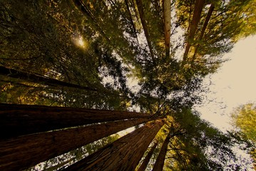 redwood trees with sky in background - low angle view