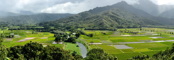 Taro Farms - Panoramic view of green taro fields at the foot of misty mountains near Hanalei Bay, Kauai, Hawaii, USA.