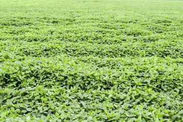 Soy field. Cultivation of soy in an open ground on fields of Kuban.