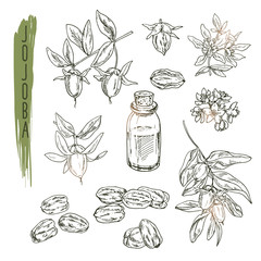 Set of jojoba elements. Vector realistic sketch of organic plant is good for a logo, banner, flyer creation or advertising medicinical, beauty and spa products.