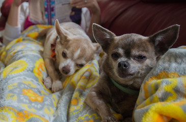 Two chihuahua dogs resting on a blanket
