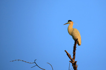 Capped Heron in Top of a Tree, in Twilight. Rio Claro, Pantanal, Brazil