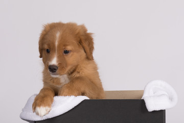 Acrylic Prints Dog Toller pup 3