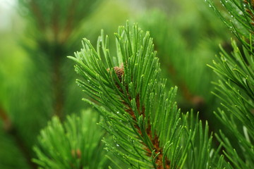Pine macro. Water drops on the needles of a pine