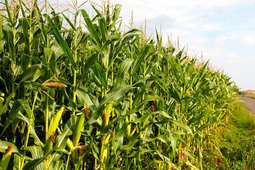 Corn field near country road