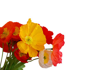 Poppy flowers isolated on white background with sample text